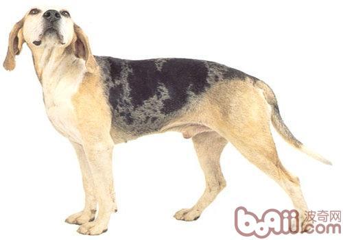邓克尔犬简介-狗狗品种